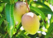 mango-fruit
